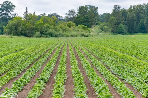 A field of spinach.