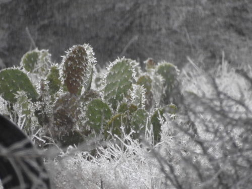 Ice on cactus in Texas.