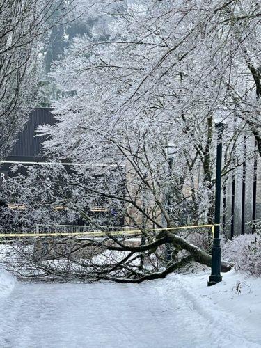 Tree fallen under weight of ice storm.