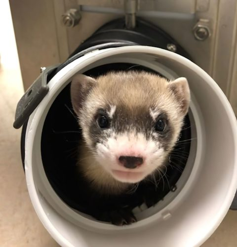 Elizabeth Ann, the first cloned black-footed ferret and first-ever cloned U.S. endangered species, at 50-days old.