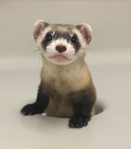 Elizabeth Ann, the first cloned black-footed ferret and first-ever cloned U.S. endangered species, at 68-days old.