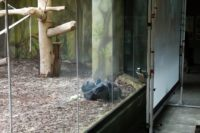 Chimp lays on the ground while taking part in a video call with another chimp.
