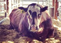 This steer at the UC Davis beef barn was fed a small amount of seaweed with his feed to reduce methane emissions.