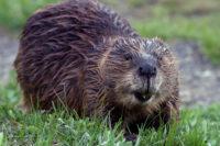 Beaver munching away near a riverbank in Yellowstone.