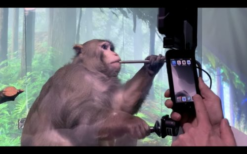 Closeup of a rhesus macaque monkey playing a video game.