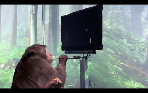 A rhesus macaque monkey playing a video game with his mind.