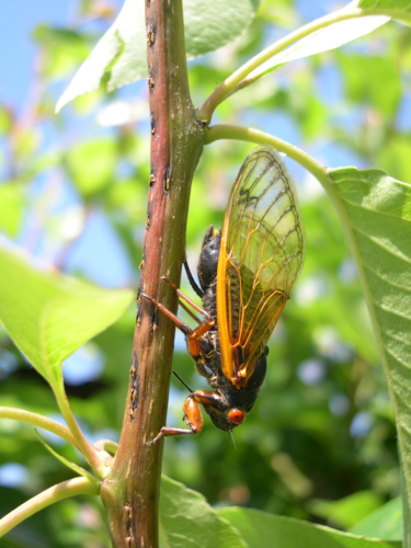 Magicicada cassini female ovipositing; note additional eggnest scars on twig. Photograph by C. Simon.