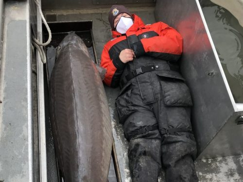 """The Alpena Fish and Wildlife Conservation Office crew caught this 240 pound, 6' 10"""" female lake sturgeon in the Detroit River last week. She is estimated to be more than 100 years old!"""