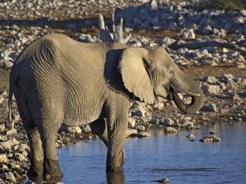 African Elephant drinking at the waterhole of Okaukuejo, Etosha, Namibia.
