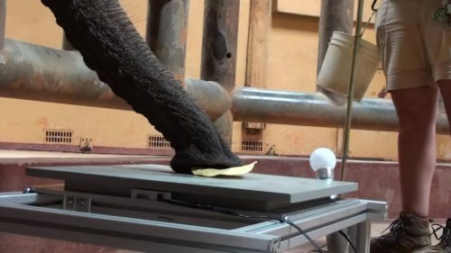 Elephant picking up a tortilla chip with it's trunk.