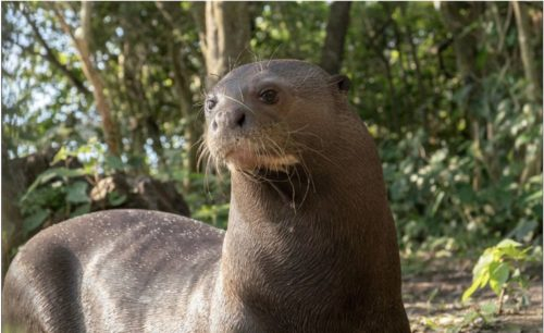 Female giant river otter being prepared to be returned to the wild in Argentina.