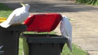 One cockatoo watches another one open a trash bin lid.