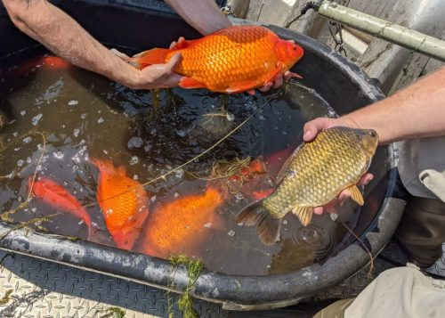 Two very large goldfish (one orange, one green) are being held up above a large tub holding other large goldfish.