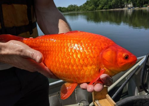 A huge goldfish is being held in two hands, with a lake in the background.