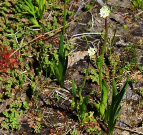 Flowering Triantha occidentalis plant.