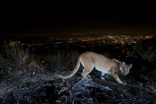 This uncollared adult female mountain lion was photographed with a motion sensor camera in the Verdugos Mountains in August 2016. LA city lights in the background.