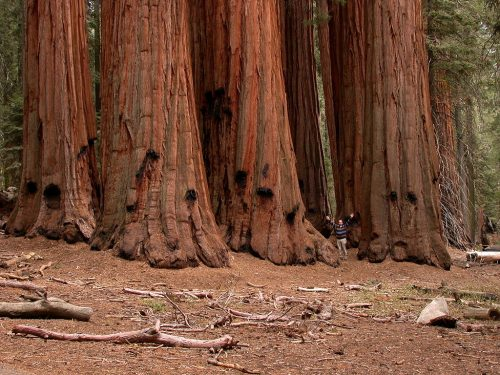 The House Group, group of monumental giant sequoias in the Giant Forest grove, Sequoia National Park, California.