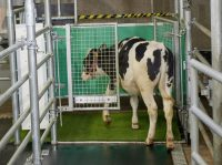 A calf goes into the MooLoo - an indoor area where cow pee can be collected and handled safely.