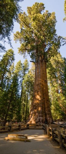 The General Sherman sequoia tree in Sequoia National Park - the biggest living tree on earth.
