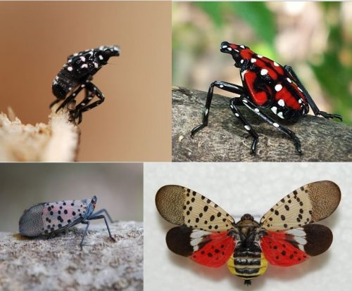 Top left: 1st stage of Spotted Lanternfly life cycle, Top right: As the Lanternfly matures, it becomes red with black and white patches, Bottom row: Adult Spotted Lanternfly