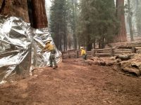 Wildland firefighters applying structure wrap to giant sequoias on the KNP Complex