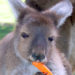 Don't Feed the Kangaroos!