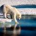 Polar Bears Could Disappear by 2100
