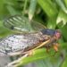 Eastern US Expecting Billions of Cicadas