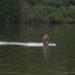 NOT Extinct: Fernandina Tortoise, Giant River Otter